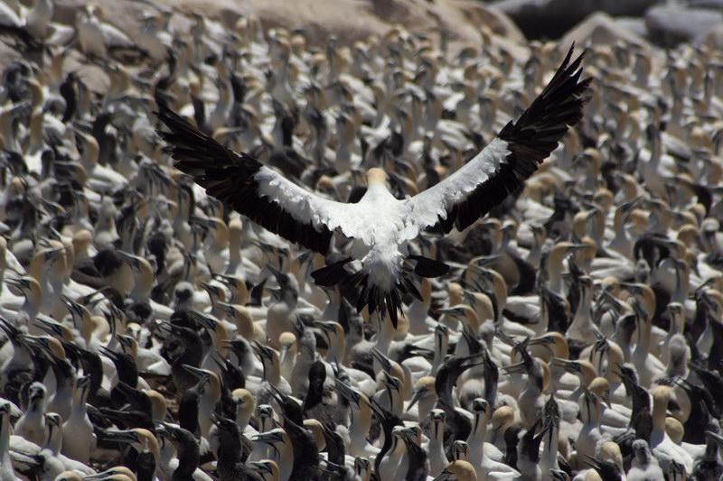 Kaptölpel auf Bird Island, Südafrika