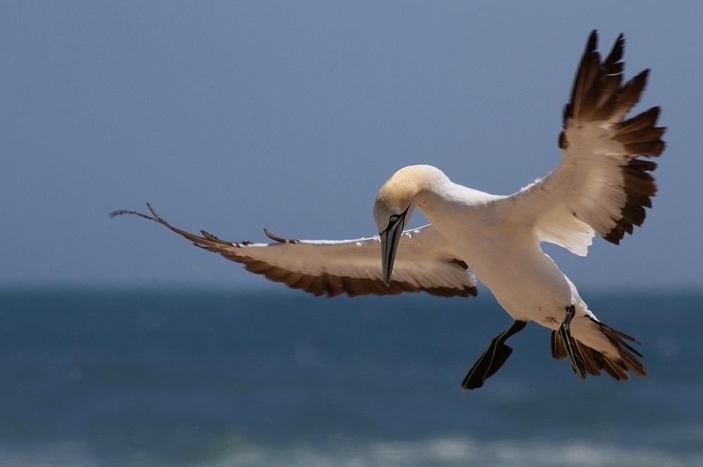 Kaptöpel im Sturm - Lamberts Bay - Südafrika