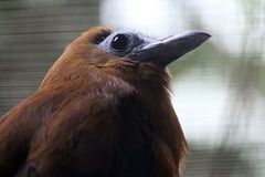 Kapuziner Kotinga