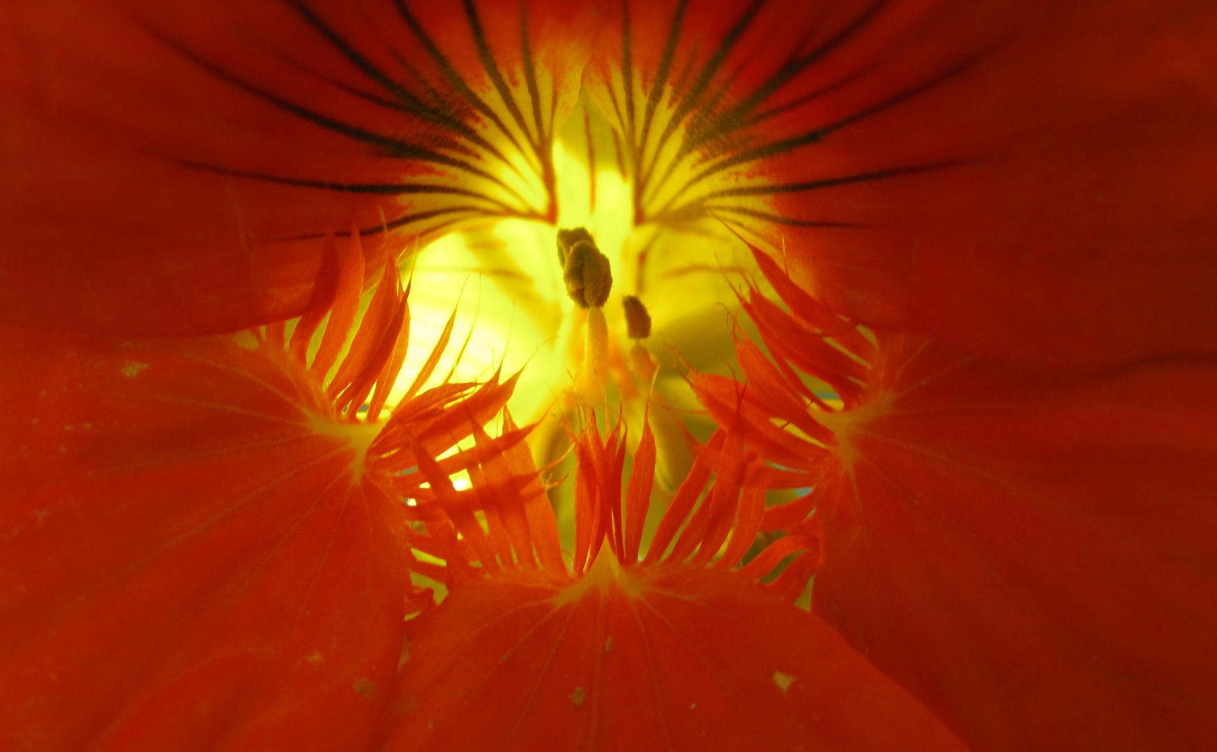 Kapuzinerkresse-Blüte... von innen mit Lichtspiel
