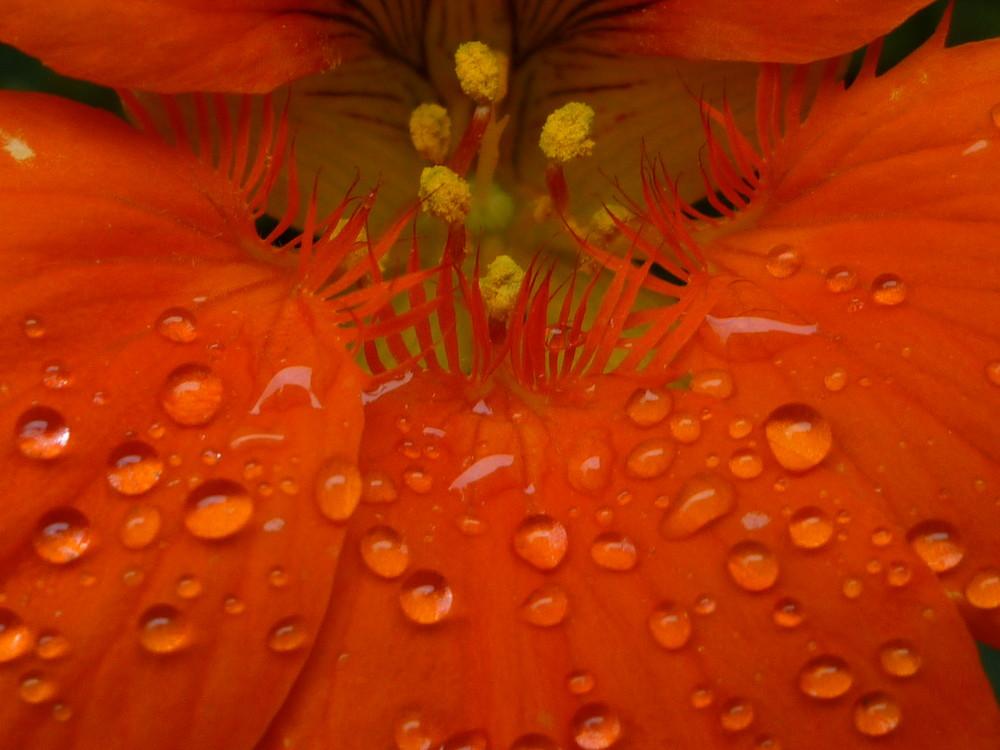 Kapuzinerkresse im Regen