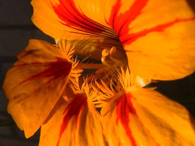 Kapuzinerkresse,leckere essbare Blüten