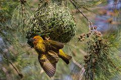 Kapweber Vogel