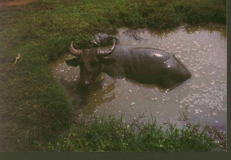 Karabao, Wasserbüffel auf den Philippinen
