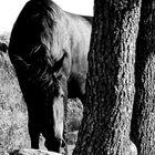 Karakachan Horse 2