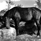 Karakachan Horse