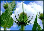 ____KARDE____  kurz vor der Blüte