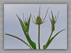 Karden-Gräser heute früh :  kein blauer sondern grauer Himmel heute,