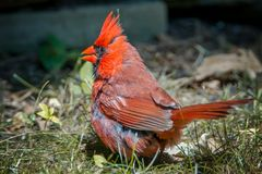 Kardinalsvogel