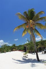Karibikpalme