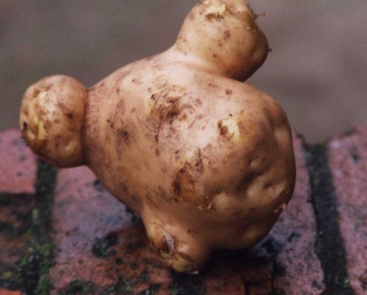 Kartoffel-Erdapfel