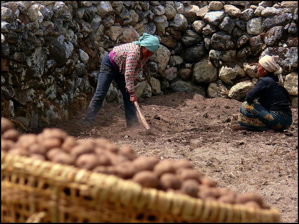 kartoffel-ernte in khumjung/nepal