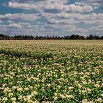 Kartoffelblüte in der Ried