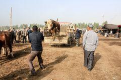Kashgar (3)- Fliegende Kuh