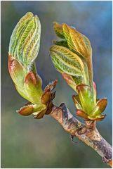 Kastanie bei der Entfaltung der Blätter