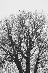 Kastanienbaum # 5737