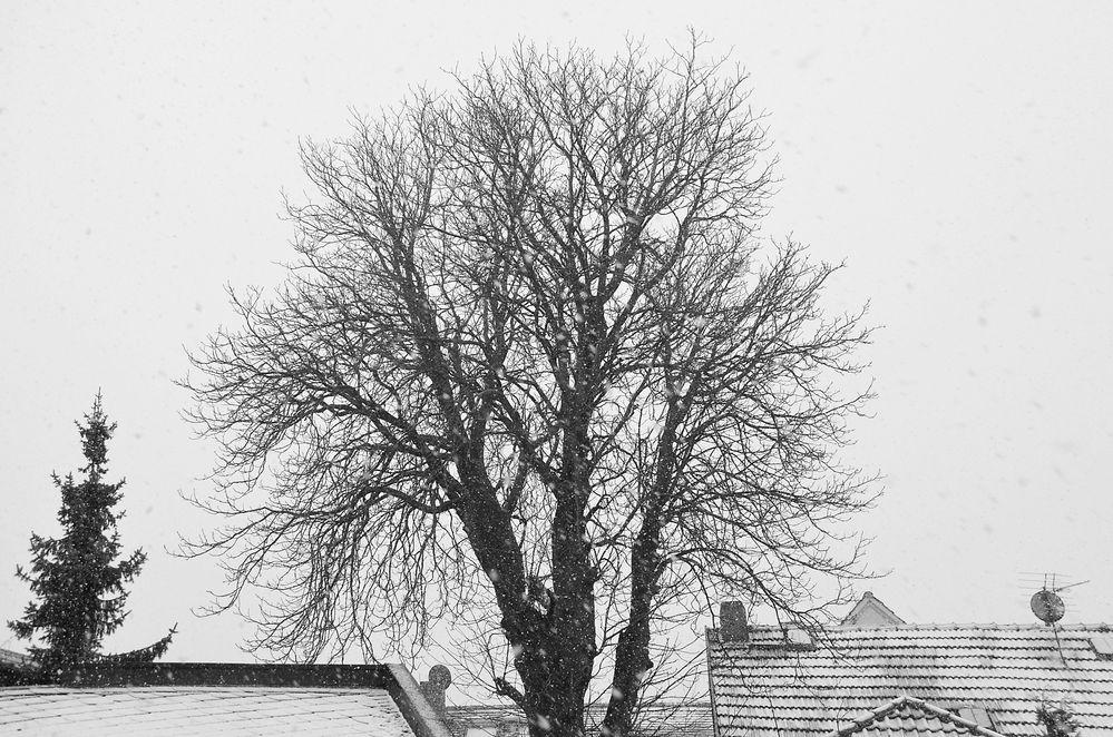 Kastanienbaum # 5752