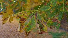 Kastanienblätter im Herbstgewand sind immer wieder eine Augenweide!