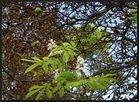 ...Kastanienblüte...im September...