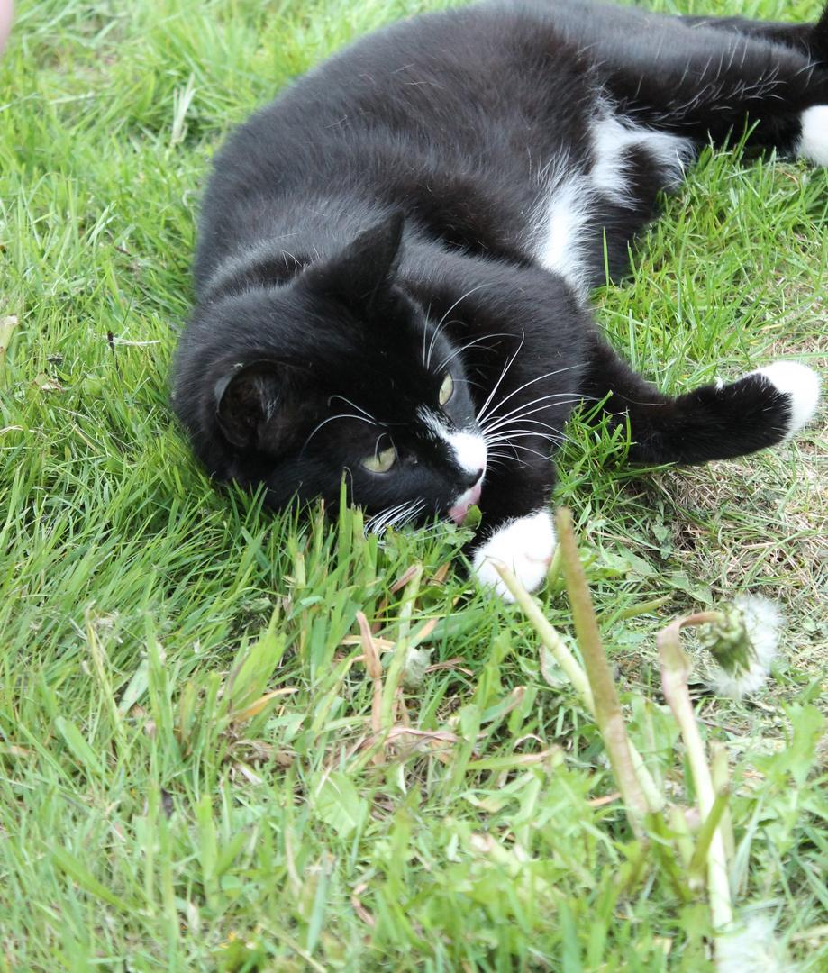 Kater im Gras