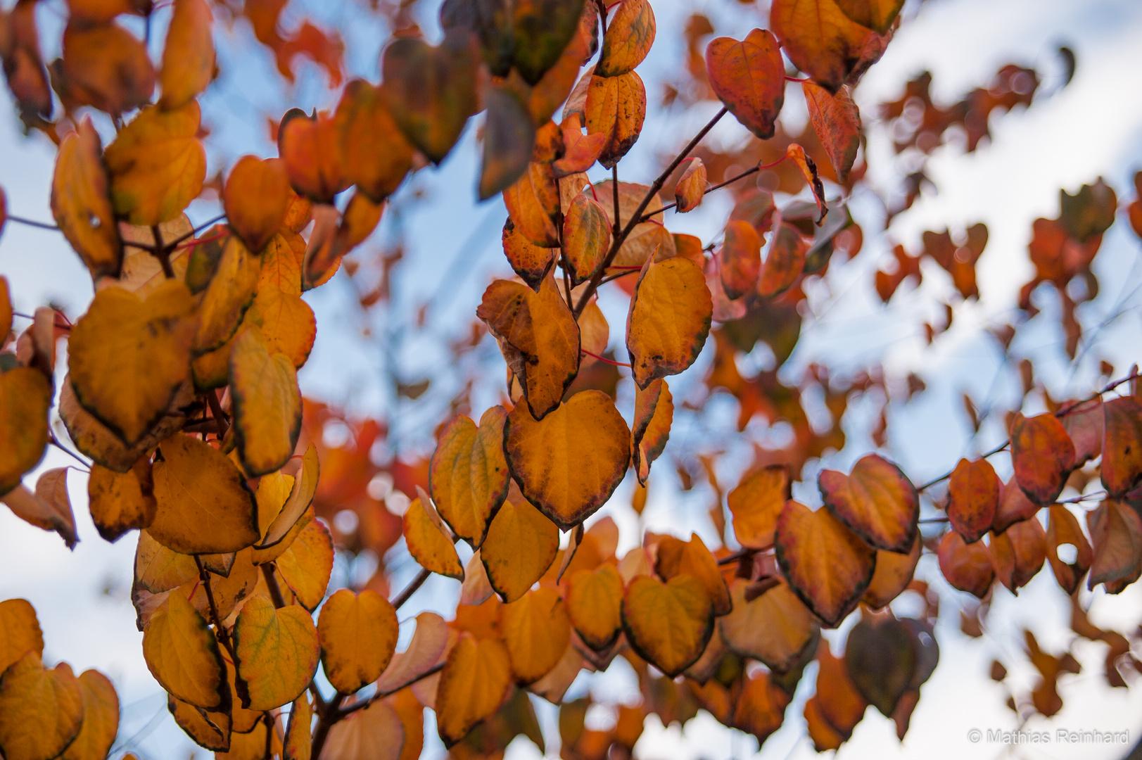 Katsurabaum kuchenbaum lebkuchenbaum foto bild pflanzen pilze flechten b ume blatt - Lebkuchenbaum kaufen ...
