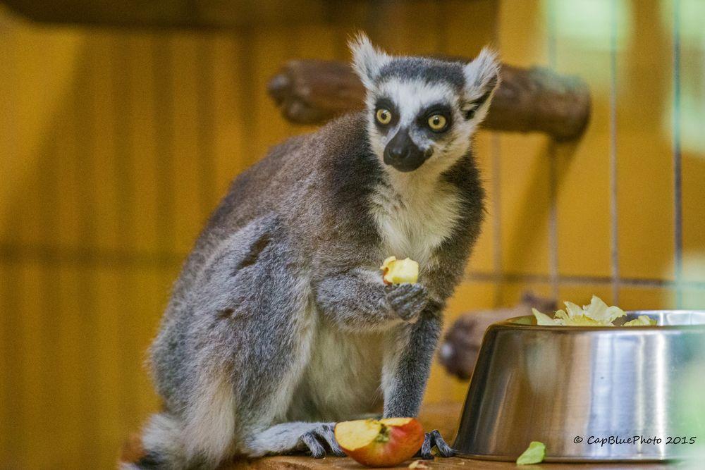 Katta (Primatenart der Lemuren)