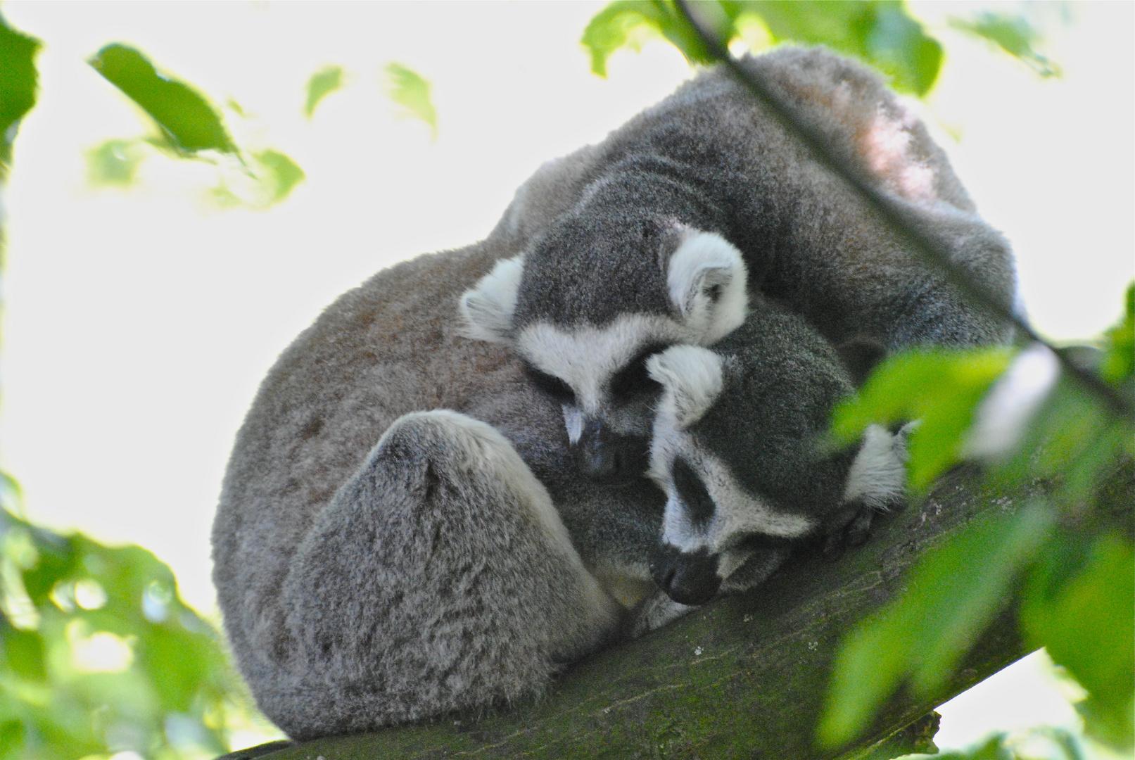 Kattas (Lemur catta)