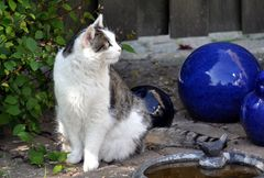 Katze an Vogelbad