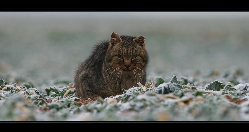 ...Katze auf dem Feld...