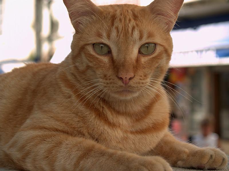 Katze auf Gibraltar