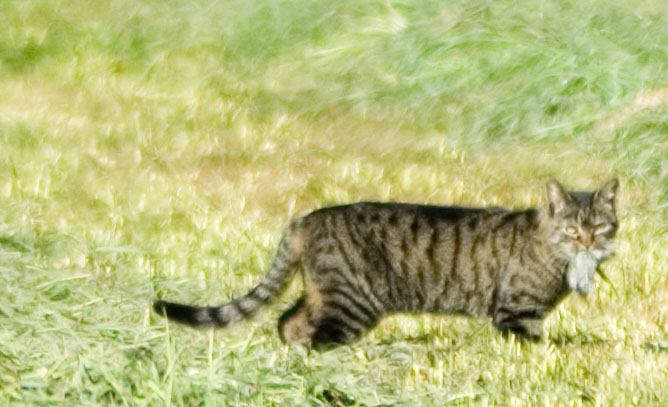 Katze auf Mausjagd