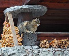 Katze bei einem Walliser Stadel