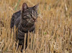 Katze Fee im Feld auf Mäuse fang