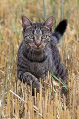 Katze Fee im Feld auf Mäuse fang Teil2