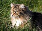 Katze im Gras I