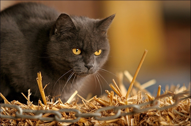 Katze im Stroh