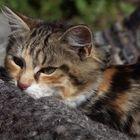 Katze im Wollpelz