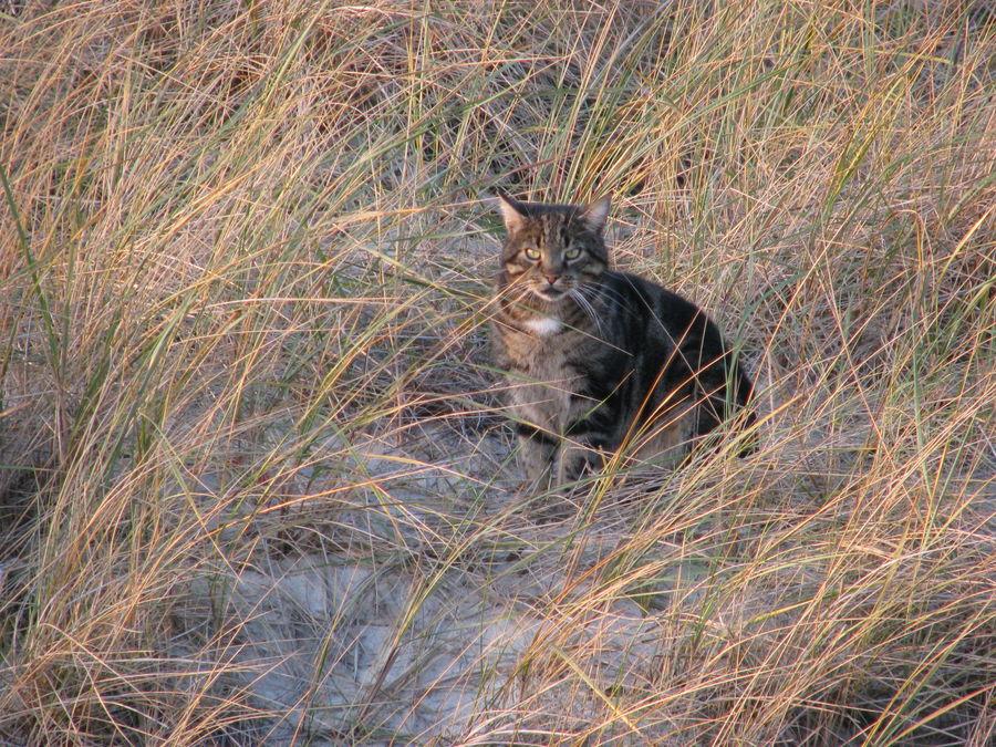 Katze in den Dünen