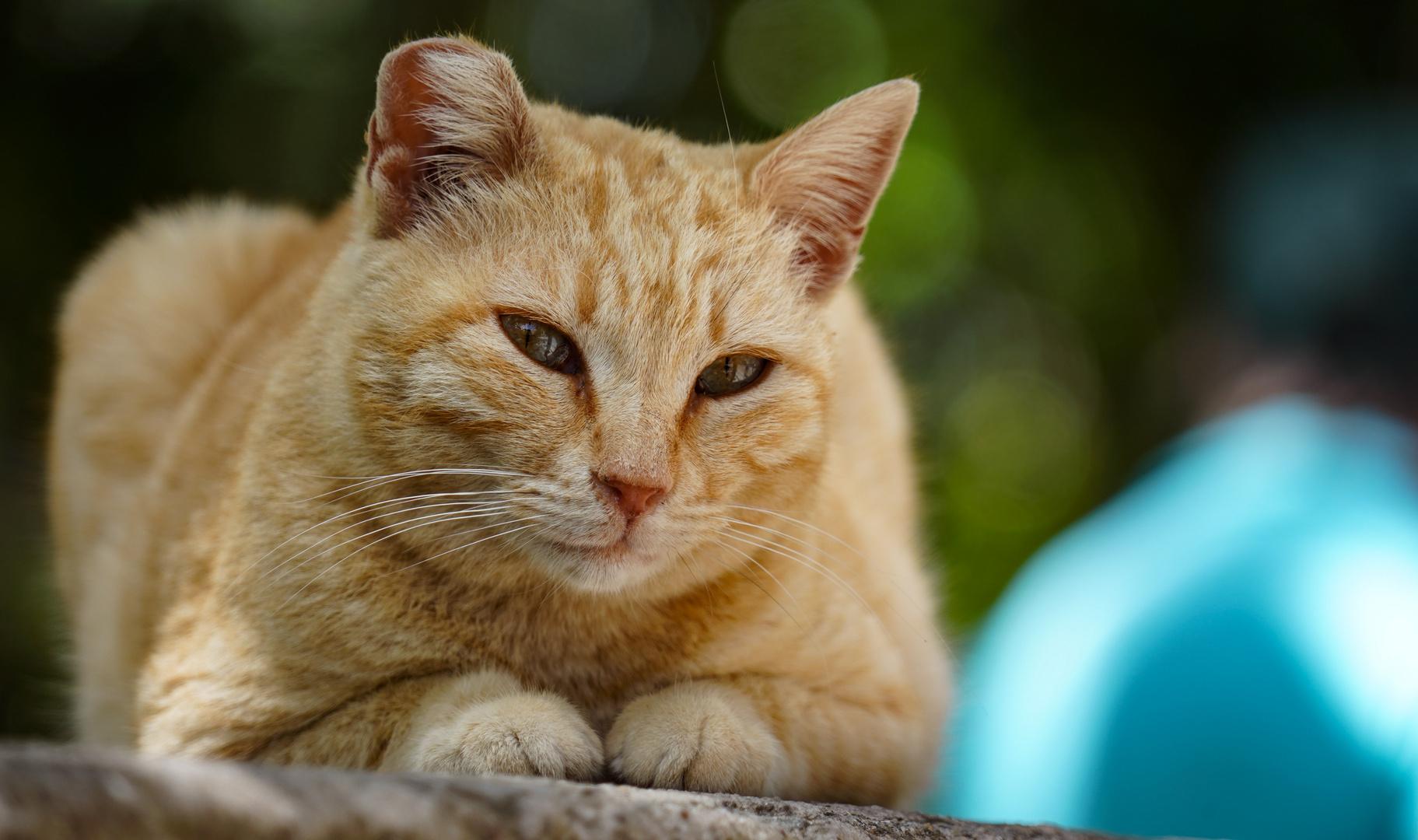 Katze in Griechenland, Kos