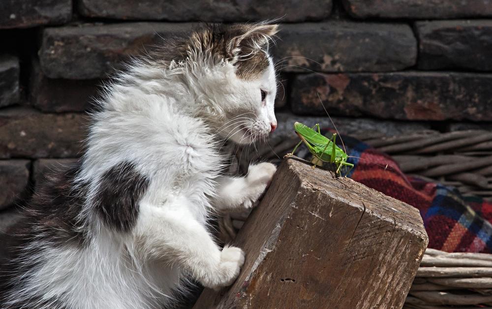 Katze mit Heuschrecke bei Drago auf dem Biobauernhof!