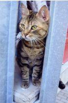 Katze ( mit neugierigem Blick um die Ecke )