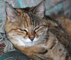 Katze Poussy