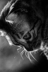 Katze schwarz-weiss