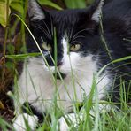 Katze schwarz/weiss