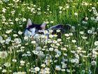 Katze und Gänseblümchen