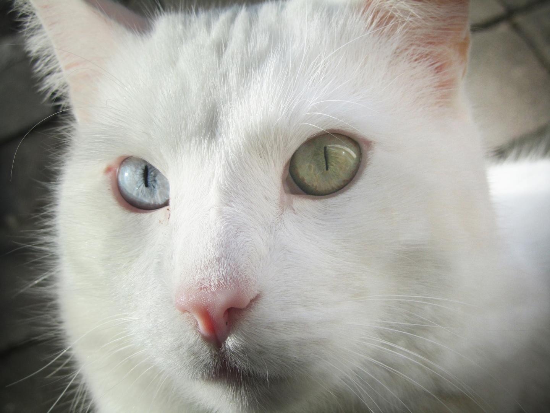 Katze - zwei Augenfarben