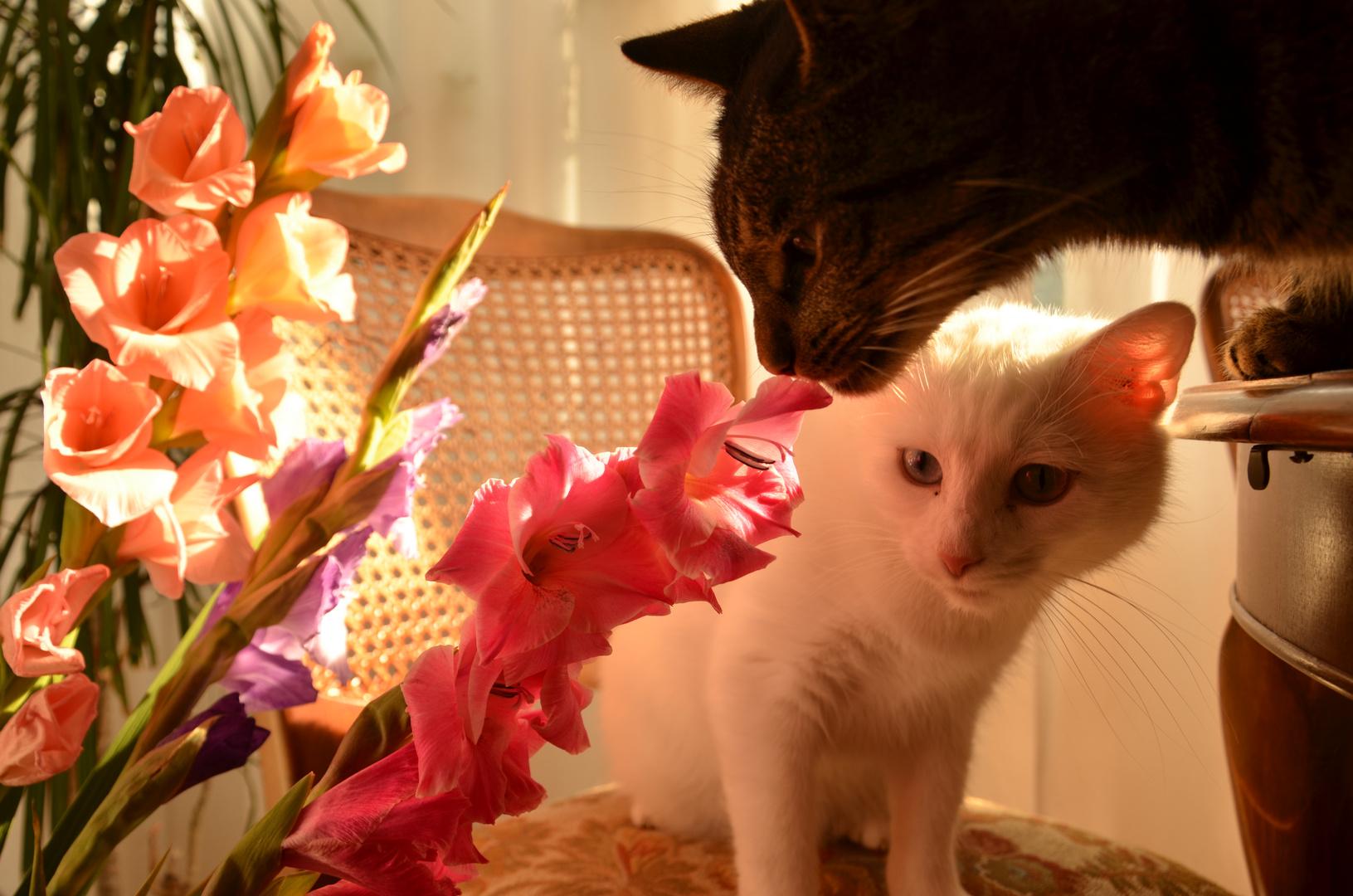 katzen schnüffeln an den Gladiolen  :)