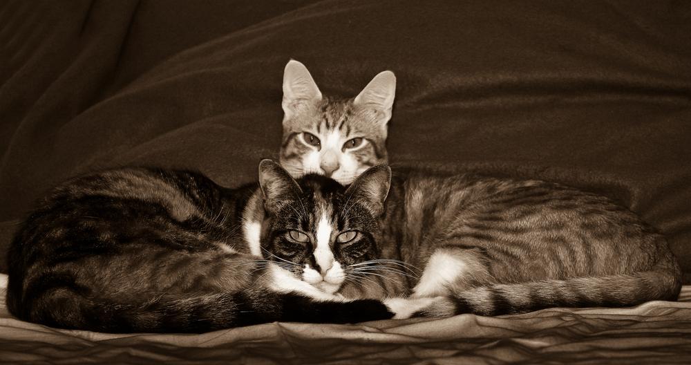 Katzen Sepia die zweite