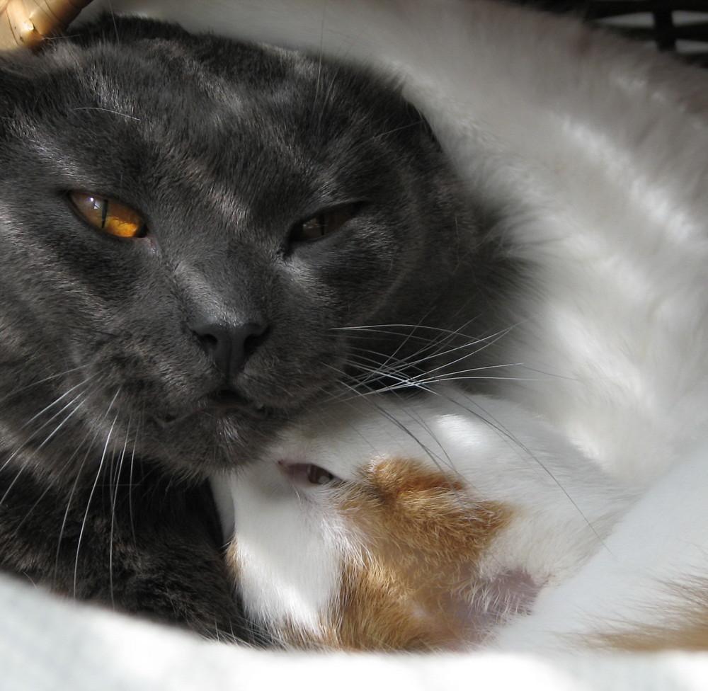 Katzen-SumoRingen