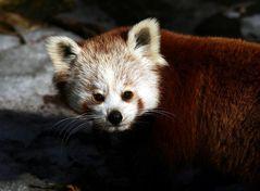 "Katzenbär oder auch ""Roter Panda"" genannt"